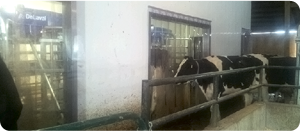 Dairy Curtains by Kingman Industries